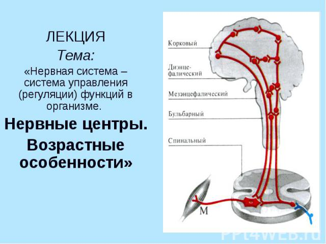 ЛЕКЦИЯ Тема: «Нервная система – система управления (регуляции) функций в организме. Нервные центры. Возрастные особенности»