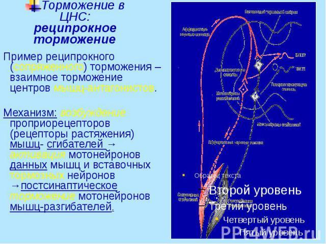 Торможение в ЦНС: реципрокное торможение Пример реципрокного (сопряженного) торможения – взаимное торможение центров мышц-антагонистов. Механизм: возбуждение проприорецепторов (рецепторы растяжения) мышц- сгибателей → активация мотонейронов данных м…