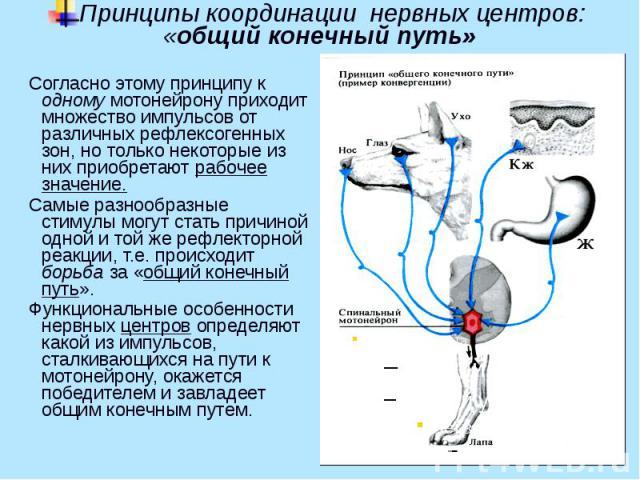 Принципы координации нервных центров: «общий конечный путь» Согласно этому принципу к одному мотонейрону приходит множество импульсов от различных рефлексогенных зон, но только некоторые из них приобретают рабочее значение. Самые разнообразные стиму…
