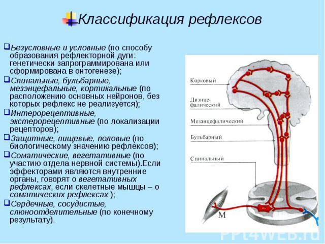 Классификация рефлексов Безусловные и условные (по способу образования рефлекторной дуги: генетически запрограммирована или сформирована в онтогенезе); Спинальные, бульбарные, мезэнцефальные, кортикальные (по расположению основных нейронов, без кото…