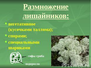 Размножение лишайников: вегетативное (кусочками таллома); спорами; специальными