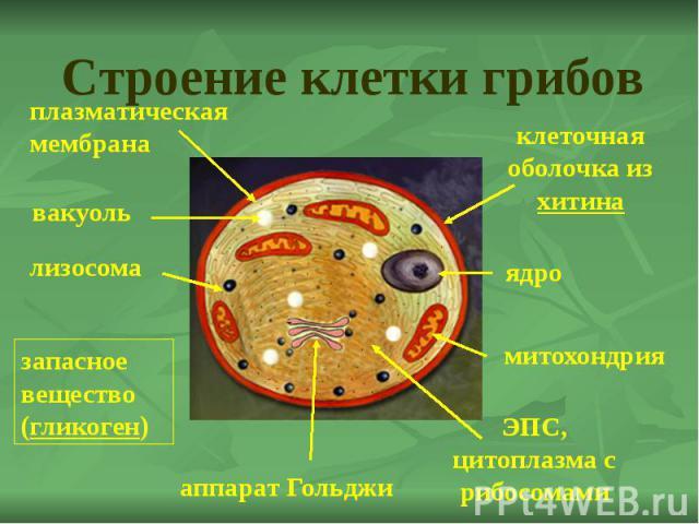 Строение клетки грибов