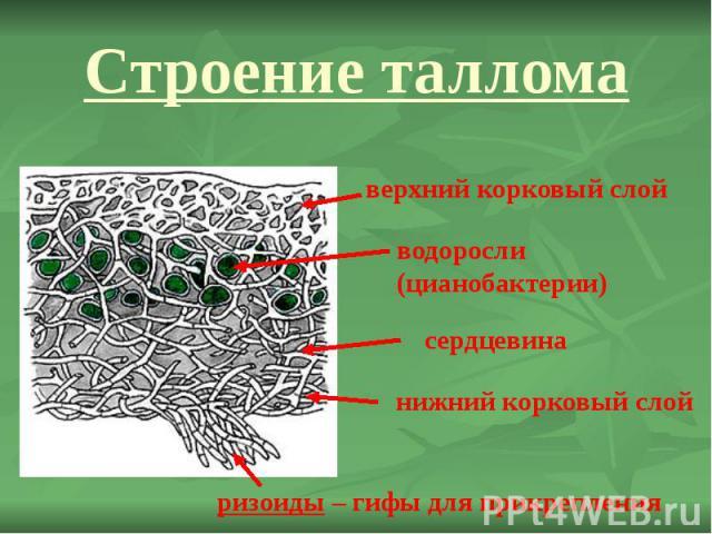 Строение таллома