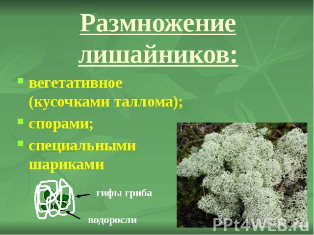 Размножение лишайников: вегетативное (кусочками таллома); спорами; специальными шариками