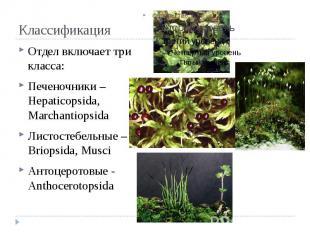 Классификация Отдел включает три класса: Печеночники – Hepaticopsida, Marchantio