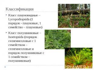 Классификация Класс плауновидные – Lycopodiopsida (1 порядок - плауновые, 1 семе