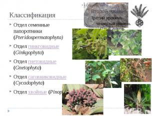 Классификация Отдел семенные папоротники (Pteridospermatophyta) Отдел гинкговидн