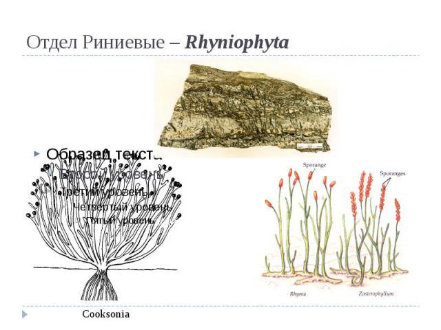 Отдел Риниевые – Rhyniophyta