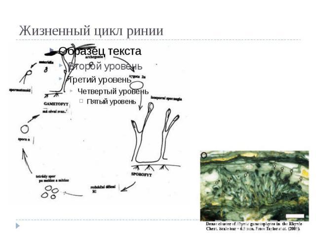 Жизненный цикл ринии