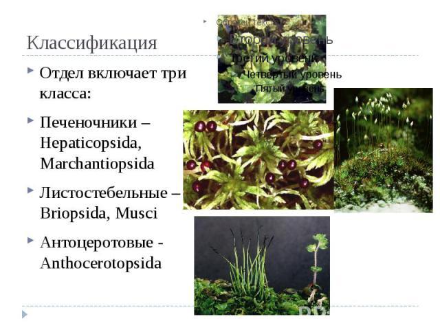 Классификация Отдел включает три класса: Печеночники – Hepaticopsida, Marchantiopsida Листостебельные – Briopsida, Musci Антоцеротовые - Anthocerotopsida