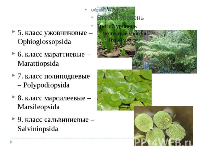 5. класс ужовниковые – Ophioglossopsida 6. класс мараттиевые – Marattiopsida 7. класс полиподиевые – Polypodiopsida 8. класс марсилеевые – Marsileopsida 9. класс сальвиниевые – Salviniopsida