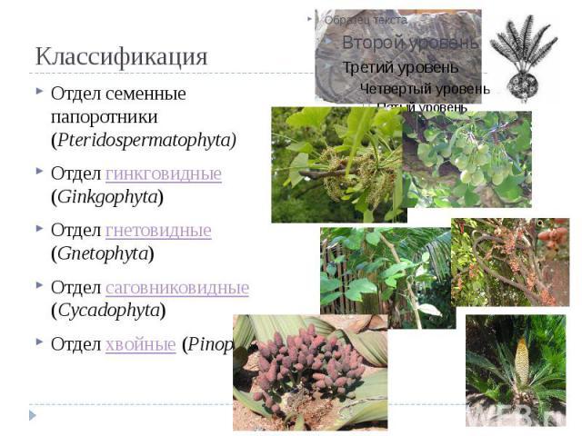 Классификация Отдел семенные папоротники (Pteridospermatophyta) Отдел гинкговидные (Ginkgophyta) Отдел гнетовидные (Gnetophyta) Отдел саговниковидные (Cycadophyta) Отдел хвойные (Pinophyta)