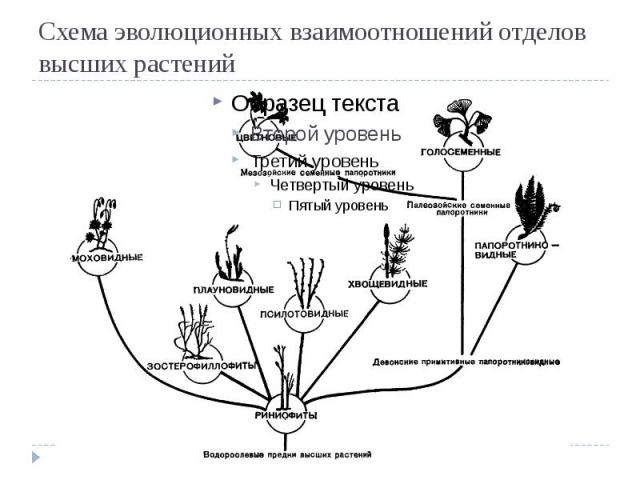 Схема эволюционных взаимоотношений отделов высших растений