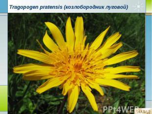Tragopogen pratensis (козлобородник луговой)