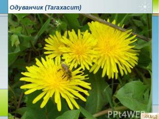 Одуванчик (Taraxacum)