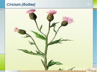 Cirsium (бодяк)