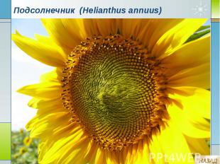 Подсолнечник (Helianthus annuus)