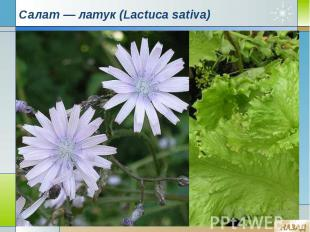 Салат — латук (Lactuca sativa)