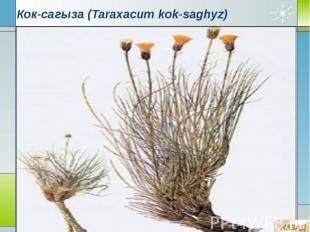 Кок-сагыза (Taraxacum kok-saghyz)