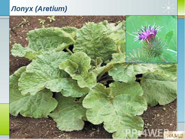 Лопух (Aretium)