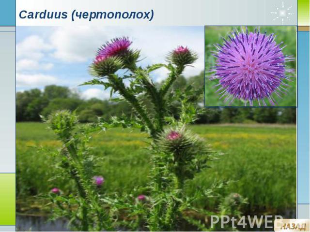 Carduus (чертополох)
