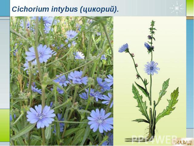 Cichorium intybus (цикорий).