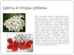 Цветы и плоды рябины Рябина, вследствие большой её распространенности и невысоко
