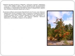 Название растения aucuparia в переводе с латинского означает «заманивать птиц» и