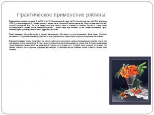 Практическое применение рябины Плоды рябины содержат витамины С (до 200 мг%), Р