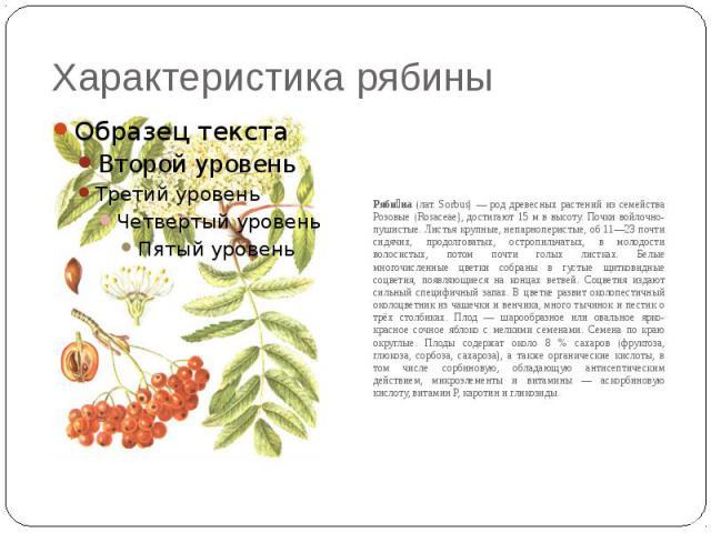 Характеристика рябины Ряби на (лат. Sorbus) — род древесных растений из семейства Розовые (Rosaceae), достигают 15 м в высоту. Почки войлочно-пушистые. Листья крупные, непарноперистые, об 11—23 почти сидячих, продолговатых, остропильчатых, в молодос…
