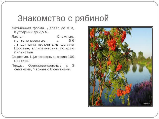 Знакомство с рябиной Жизненная форма. Дерево до 8 м, Кустарник до 2,5 м. Листья. Сложные, непарноперистые, с 5-6 ланцетными пильчатыми долями Простые, эллиптические, по краю пильчатые Соцветия. Щитковидные, около 100 цветков. Плоды. Оранжево-красные…