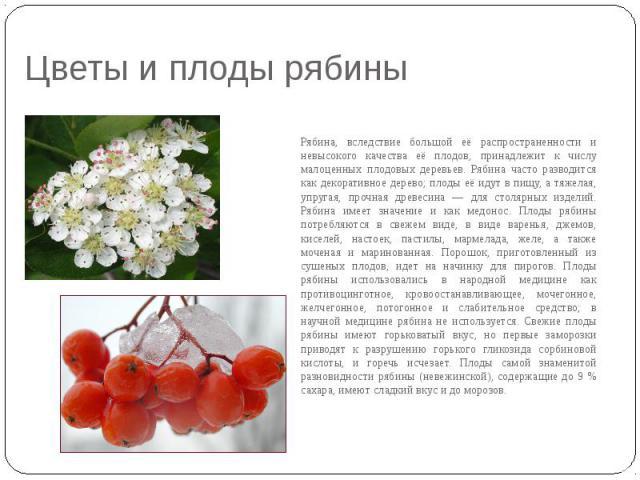 Цветы и плоды рябины Рябина, вследствие большой её распространенности и невысокого качества её плодов, принадлежит к числу малоценных плодовых деревьев. Рябина часто разводится как декоративное дерево; плоды её идут в пищу, а тяжелая, упругая, прочн…