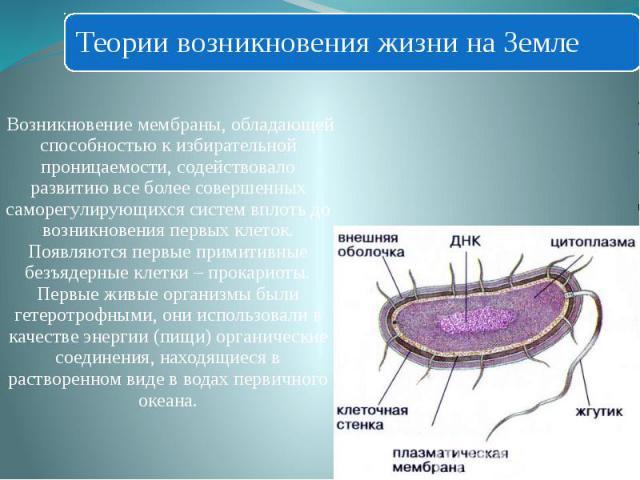 Возникновение мембраны, обладающей способностью к избирательной проницаемости, содействовало развитию все более совершенных саморегулирующихся систем вплоть до возникновения первых клеток. Появляются первые примитивные безъядерные клетки – прокариот…