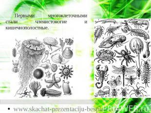 Первыми многоклеточными стали членистоногие и кишечнополостные. Первыми многокле