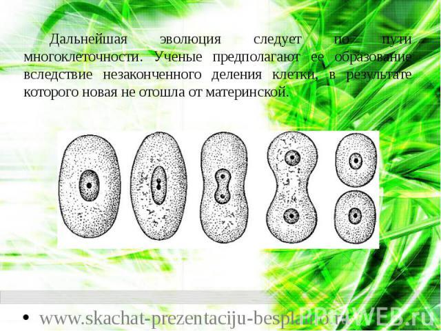 Дальнейшая эволюция следует по пути многоклеточности. Ученые предполагают ее образование вследствие незаконченного деления клетки, в результате которого новая не отошла от материнской. Дальнейшая эволюция следует по пути многоклеточности. Ученые пре…