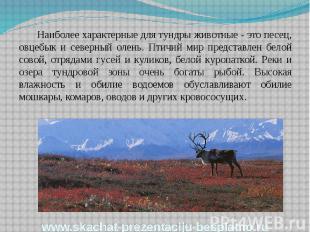 Наиболее характерные для тундры животные - это песец, овцебык и северный олень.