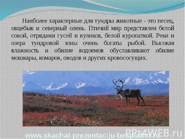Наиболее характерные для тундры животные - это песец, овцебык и северный олень. Птичий мир представлен белой совой, отрядами гусей и куликов, белой куропаткой. Реки и озера тундровой зоны очень богаты рыбой. Высокая влажность и обилие водоемов обусл…