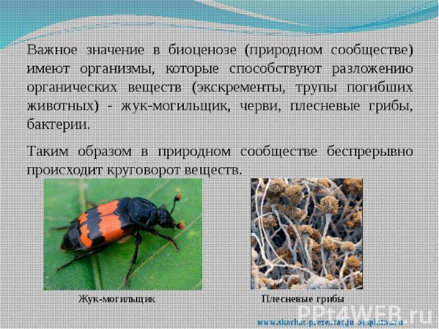 Важное значение в биоценозе (природном сообществе) имеют организмы, которые способствуют разложению органических веществ (экскременты, трупы погибших животных) - жук-могильщик, черви, плесневые грибы, бактерии. Важное значение в биоценозе (природном…