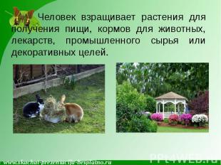 Человек взращивает растения для получения пищи, кормов для животных, лекарств, п