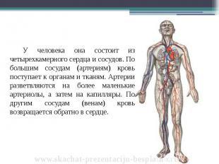У человека она состоит из четырехкамерного сердца и сосудов. По большим сосудам