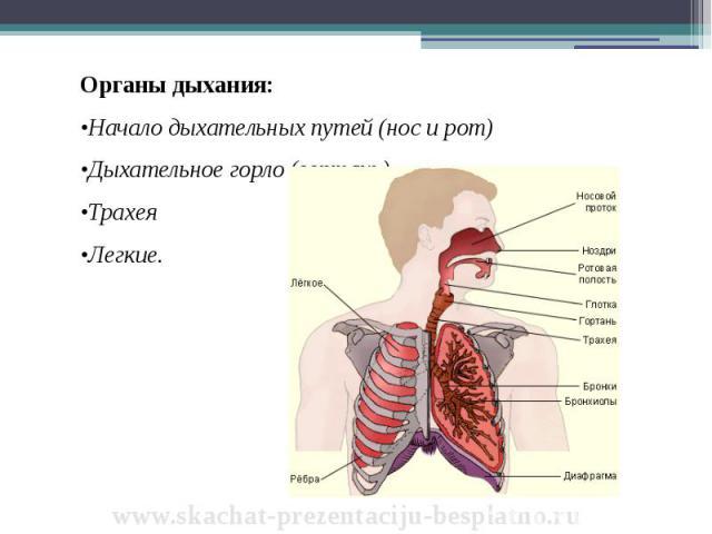 Органы дыхания: Органы дыхания: •Начало дыхательных путей (нос и рот) •Дыхательное горло (гортань) •Трахея •Легкие.