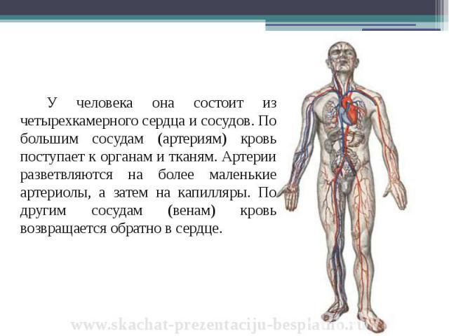 У человека она состоит из четырехкамерного сердца и сосудов. По большим сосудам (артериям) кровь поступает к органам и тканям. Артерии разветвляются на более маленькие артериолы, а затем на капилляры. По другим сосудам (венам) кровь возвращается обр…