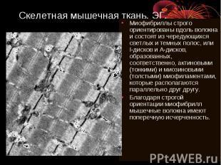 Скелетная мышечная ткань. ЭГ. Миофибриллы строго ориентированы вдоль волокна и с