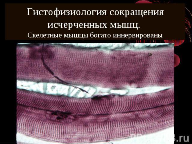 Гистофизиология сокращения исчерченных мышц. Cкелетные мышцы богато иннервированы