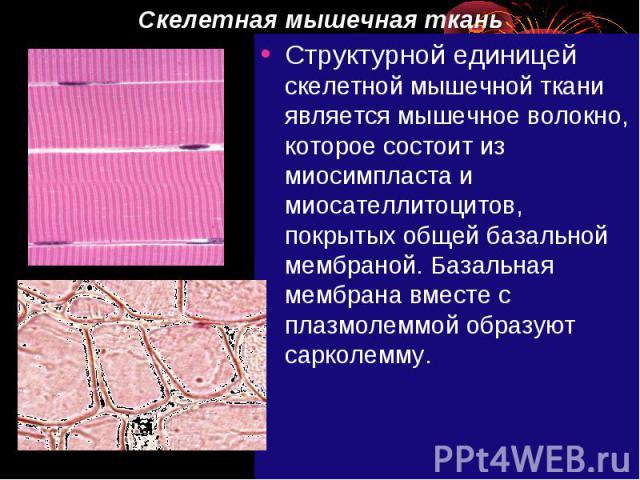 Скелетная мышечная ткань Структурной единицей скелетной мышечной ткани является мышечное волокно, которое состоит из миосимпласта и миосателлитоцитов, покрытых общей базальной мембраной. Базальная мембрана вместе с плазмолеммой образуют сарколемму.