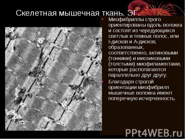 Скелетная мышечная ткань. ЭГ. Миофибриллы строго ориентированы вдоль волокна и состоят из чередующихся светлых и темных полос, или I-дисков и А-дисков, образованных, соответственно, актиновыми (тонкими) и миозиновыми (толстыми) миофиламентами, котор…