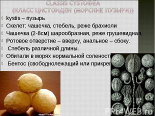 kystis – пузырь kystis – пузырь Скелет: чашечка, стебель, реже брахиоли Чашечка