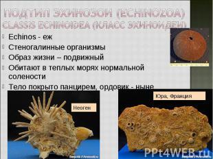 Echinos - еж Echinos - еж Стеногалинные организмы Образ жизни – подвижный Обитаю