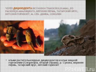 клыки растительноядных дицинодонтов и клык хищной горгонопии (Gorgonopia, второй