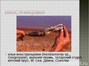 клык иностранцевии (Inostrancevia sp., Gorgonopia), верхняя пермь, татарский отд